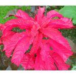 Amaranthus Molten Fire Seeds - Amaranthus Tricolor