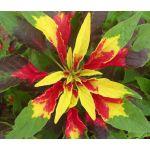 Amaranthus Perfecta Seeds - Amaranthus Tricolor