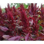 Amaranthus Red Spike Seeds - Amaranthus Cruentus