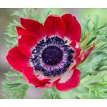 Anemone Red Seeds - Anemone Multifida Rubra