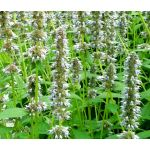Anise Hyssop Snow Spike Seeds - Agastache Foeniculum