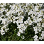 Arabis Wall Rock Cress White Snow Peak Seeds - Arabis Alpina Caucasica