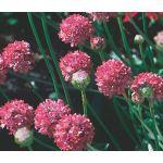 Armeri Joystick Mix Seeds - Armeria Maritima