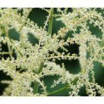 Aruncus White Seeds - Aruncus Dioicus