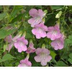Asarina Climbing Snapdragon Rose Seeds - Asarina Scandens