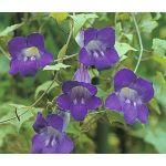 Asarina Climbing Snapdragon Violet Seeds - Asarina Scandens