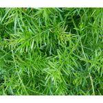 Asparagus Fern Seeds - Asparagus Densiflorus Sprengeri