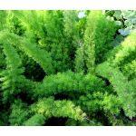 Asparagus Foxtail Fern Seeds - Asparagus Densiflorus Meyeri