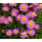 Aster Alpine Pink Seeds - Aster Alpinus