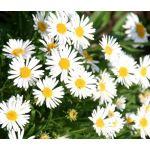 Aster Alpine White Seeds - Aster Alpinus