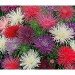 Aster Needle Unicum Mix Seeds - Callistephus Chinensis