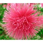 Aster Needle Unicum Salmon Seeds - Callistephus Chinensis