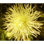 Aster Needle Unicum Yellow Seeds - Callistephus Chinensis