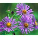 Aster New England Seeds - Symphyotrichum Novae-Angliae