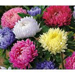 Aster Paeony Duchess Mix Seeds - Callistephus Chinensis
