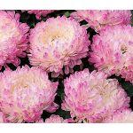 Aster Paeony Duchess Pink Seeds - Callistephus Chinensis