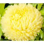 Aster Paeony Duchess Yellow Seeds - Callistephus Chinensis