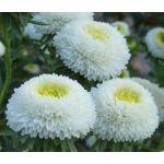 Aster Pompon White Seeds - Callistephus Chinensis