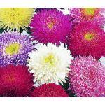 Aster Powder Puff Mix Seeds - Callistephus Chinensis