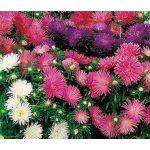 Aster Starlight Mix Seeds - Callistephus Chinensis