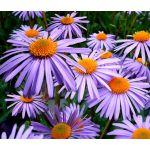 Aster Wartburg Star Seeds - Aster Tongolensis