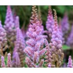 Astilbe Chinese Pumila Seeds - Astilbe Chinensis