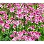 Astrantia Masterwort Purple Seeds - Astrantia Major
