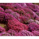 Aubrieta Rock Cress Cascade Mix Seeds - Aubrieta Hybrida Superbissima