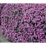 Aubrieta Rock Cress Cascade Purple Seeds - Aubrieta Hybrida Superbissima