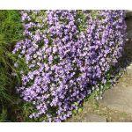 Aubrieta Rock Cress Pale Blue Seeds - Aubrieta Hybrida Graeca