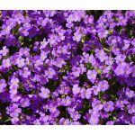 Aubrieta Aubrieta Rock Cress Purple Seeds - Aubrieta Hybrida Hendersonii