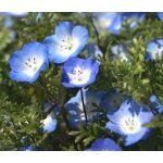 Baby Blue Eyes Seeds - Nemophila Menziesii