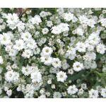 Baby's Breath Seeds - Gypsophila Elegans