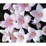 Balloon Flower Rose Seeds - Platycodon Grandiflorus