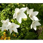Balloon Flower White Seeds - Platycodon Grandiflorus