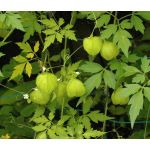 Balloon Vine Seeds - Cardiospermum Halicacabum