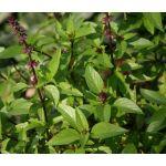 Basil Cinnamon Seeds - Ocimum Basilicum