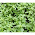 Basil Lemon Seeds - Ocimum Basilicum Citriodorum