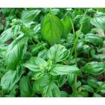 Basil Lettuce Leaf Seeds - Ocimum Basilicum