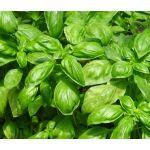 Basil Sweet Seeds - Ocimum Basilicum