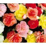 Begonia Tuberous Double Mix Seeds - Begonia Tuberosa