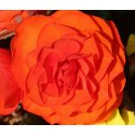 Begonia Tuberous Double Orange Seeds - Begonia Tuberosa