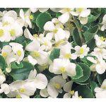 Begonia Wax White Seeds - Begonia Semperflorens