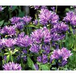 Bellflower Clustered Seeds - Campanula Glomerata Acaulis