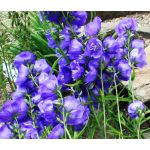 Bellflower Willow Peach-Leaved Blue Seeds - Campanula Persicifolia