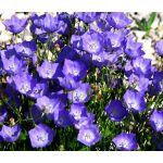Bellflower Tussock Blue Seeds - Campanula Carpatica