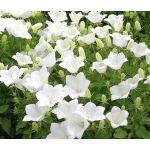 Bellflower Tussock White Seeds - Campanula Carpatica Alba