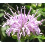Bergamot Wild Bee Balm Bulk Seeds - Monarda Fistulosa