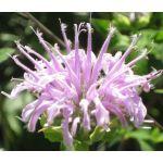 Bergamot Wild Bee Balm Seeds - Monarda Fistulosa