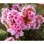 Bergenia Heartleaf Pigsqueak Seeds - Bergenia Cordifolia